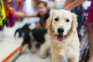 Cute Golden retriever in a pet store...Tibetan Terrier and her owner in the back buying pet collar